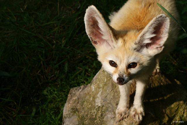 Фенек. Фото / fennec fox photo