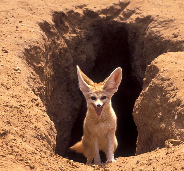 �����. ���� / fennec fox photo
