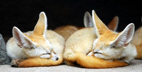 Фенеки спят. Фото