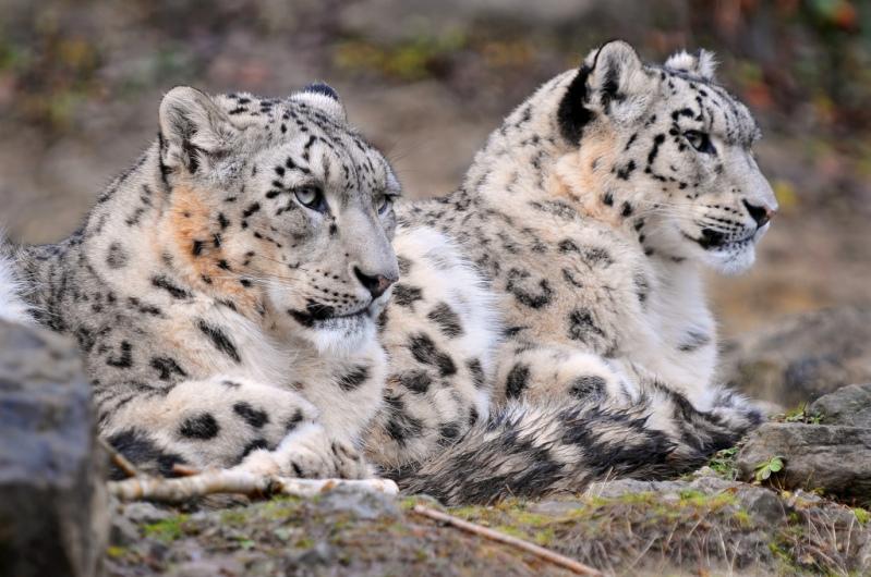 Чета снежных барсов (ирбисов). Фото
