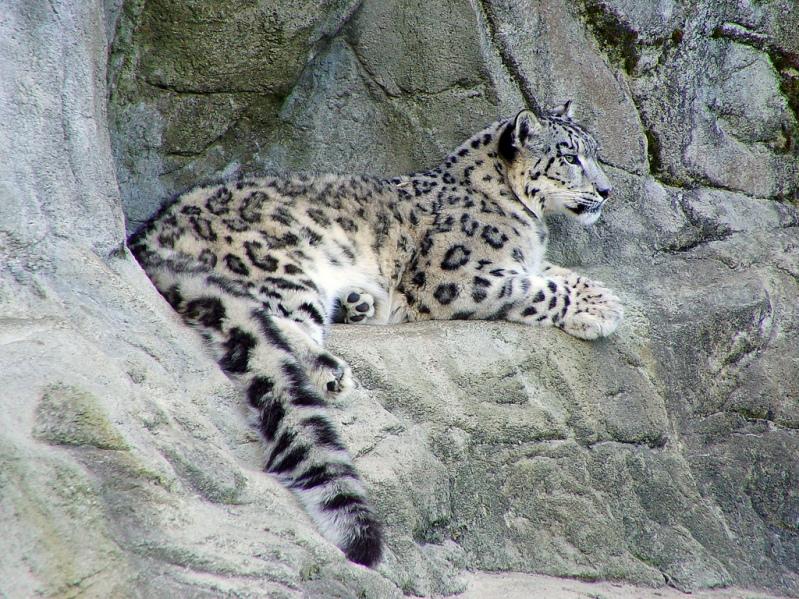 Cнежный барс (ирбис) лежит на скале. Фото / Snow Leopard. Photo