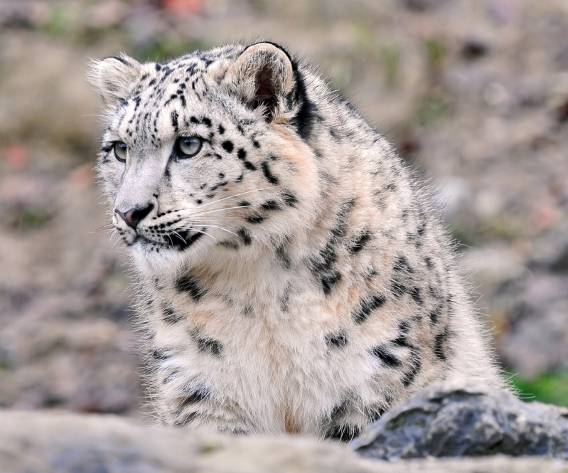 Cнежный барс (ирбис). Фото / Snow Leopard. Photo