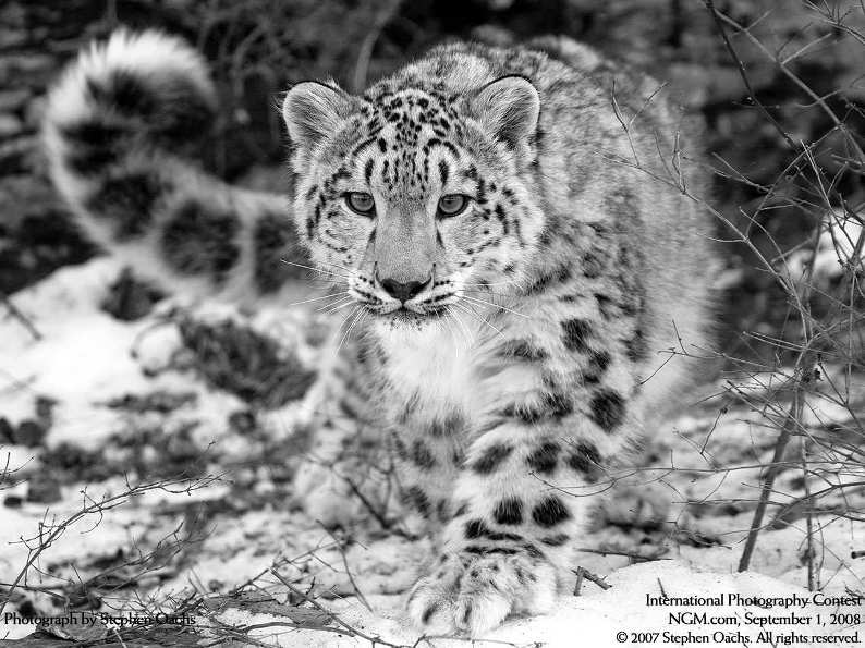 Cнежный барс (ирбис) на охоте. Фото / Snow Leopard. Photo