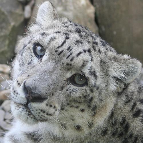 Печальный снежный барс (ирбис) крупным планом. Фото / Snow Leopard. Photo