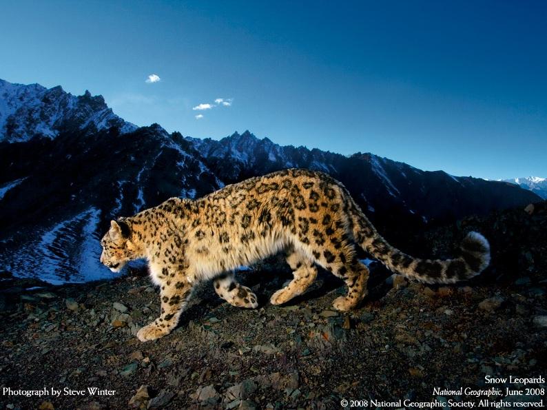 Cнежный барс (ирбис) выходит на охоту. Фото / Snow Leopard. Photo