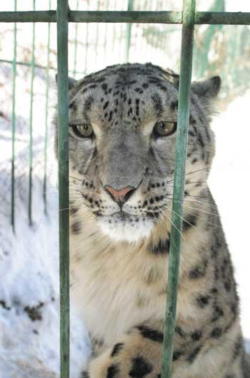 Печальный снежный барс (ирбис) в клетке. Фото / Snow Leopard. Photo