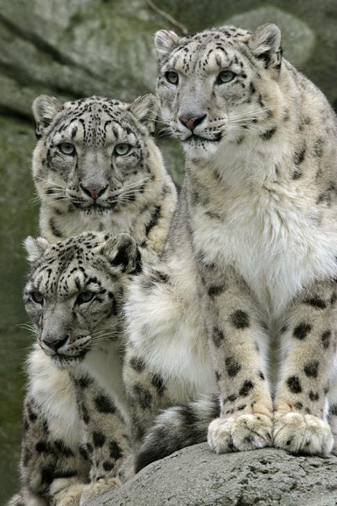 Семья снежных барсов (ирбисов). Фото
