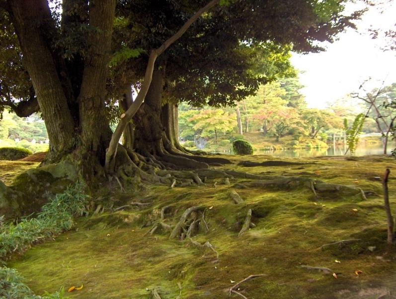 Японский парк Кераку-эн. Большие старые деревья. Фото