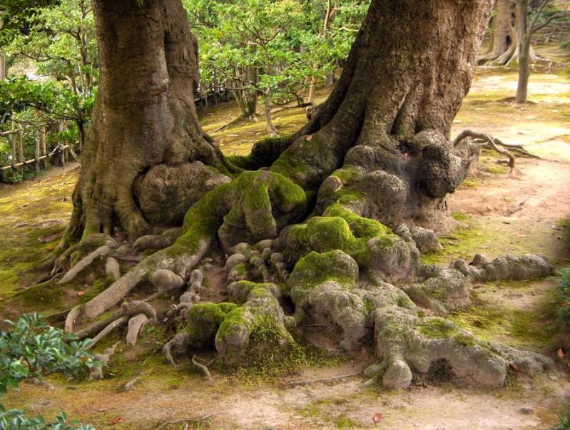 Японский парк Кераку-эн. Корни старого дерева. Фото
