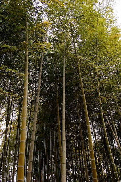 Японский парк Кераку-эн. Бамбуковая роща. Фото