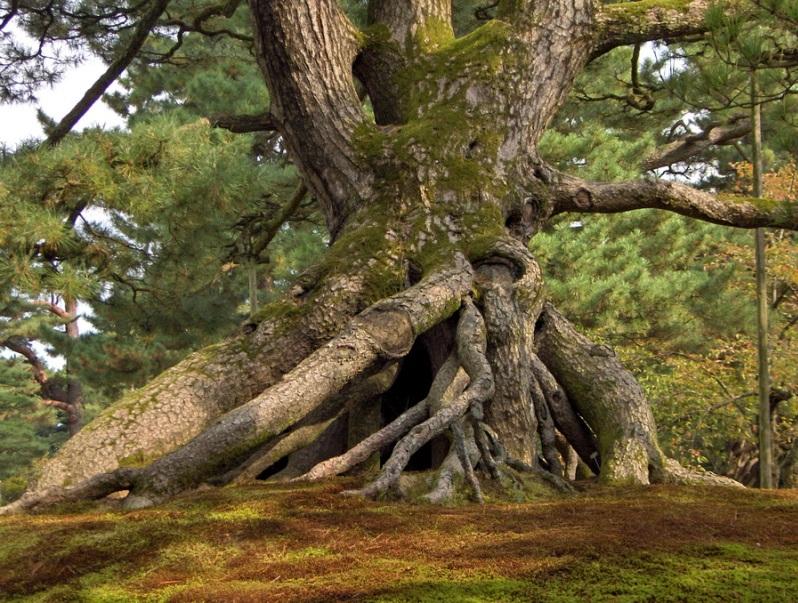 Японский парк Кераку-эн. Большое старое дерево. Фото