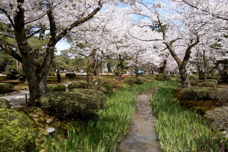 Японский парк Кераку-эн весной. Цветущая сакура. Фото