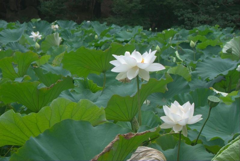 Японский парк Кераку-эн летом. Белые лотосы. Фото