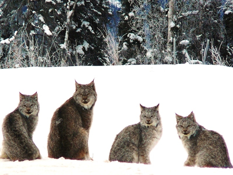 четыре канадских рыси сидят на снегу. Фото