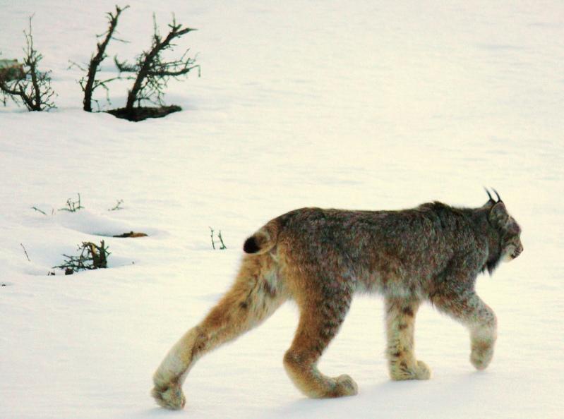 Рысь идет по снегу. Фото