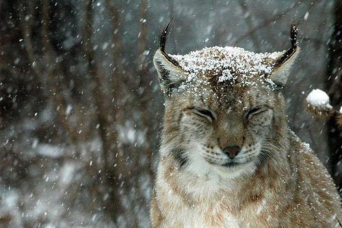 Рыси падает на голову снег. Фото