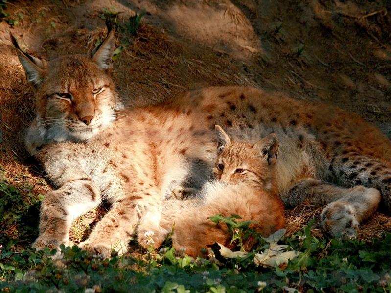 Рысёнок и его мама-рысиха лежат. Фото