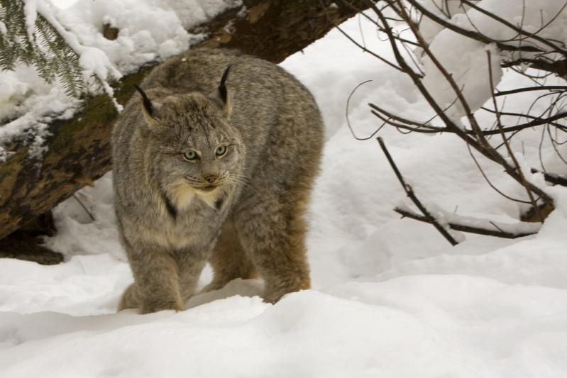 Канадская рысь. Фото