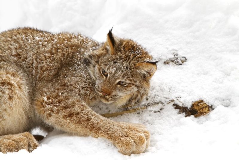Канадская рысь лежит на снегу. Фото