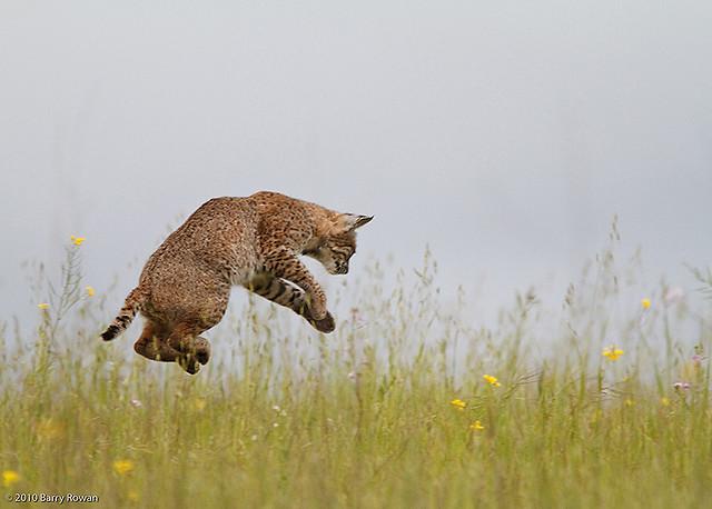 Рыжая рысь прыгает. Фото