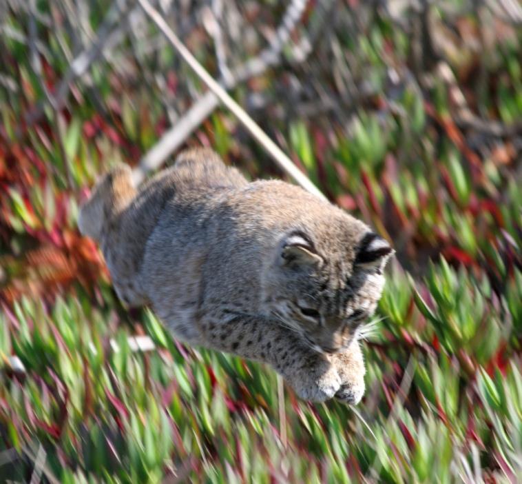 Рыжая рысь в прыжке. Фото