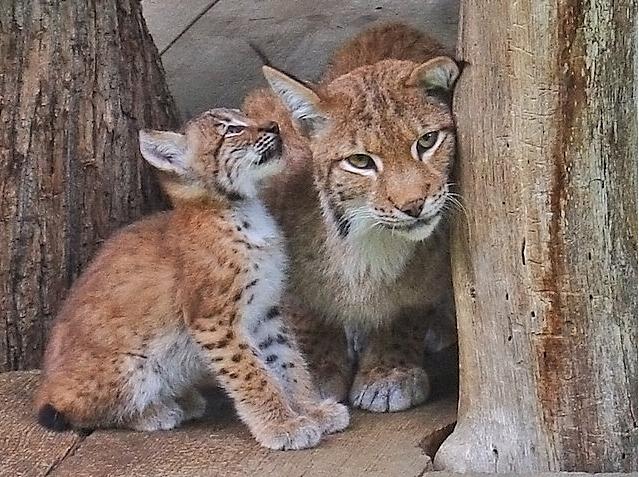 Рысёнок и его мама-рысиха. Фото
