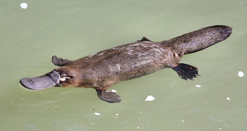 Утконос плывет. Фото