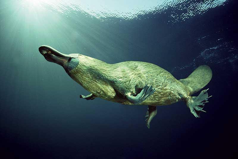 Утконос в воде. Фото