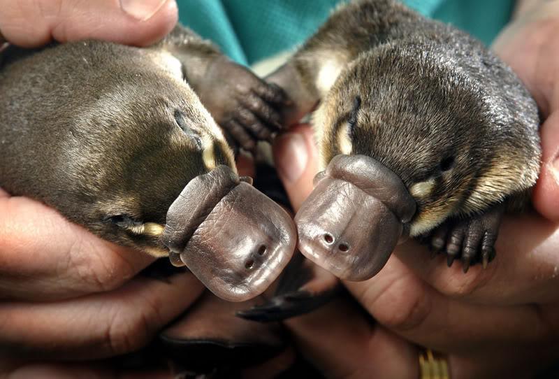 Детеныши утконоса. Фото