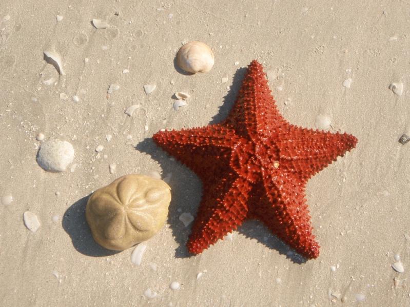 Морская звезда на пляже Кайо-Санта-Мария. Куба. Фото