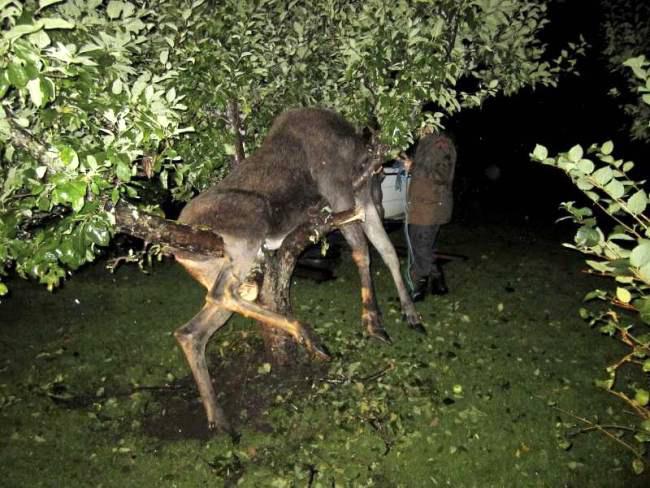 Пьяный лось застрял на яблоне. Фото
