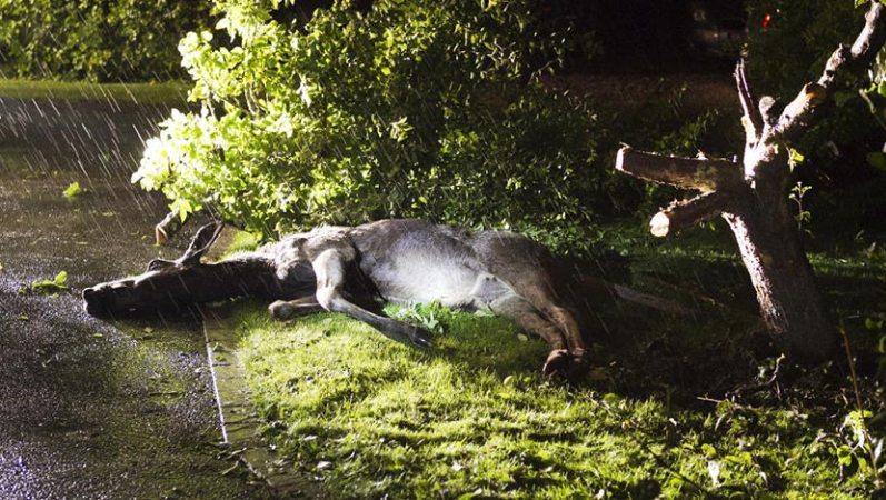 Пьяный лось спит после ночных приключений. Фото