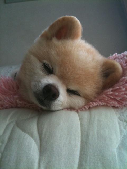 Померанский шпиц Шунсуке спит. Фото