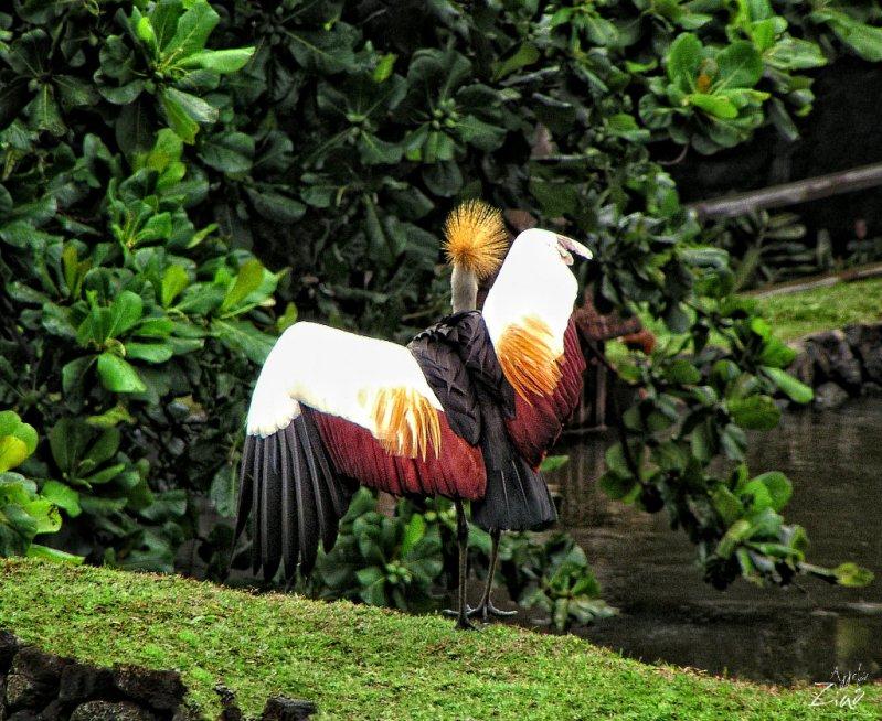 Диковинная птица. Маврикий. Фото