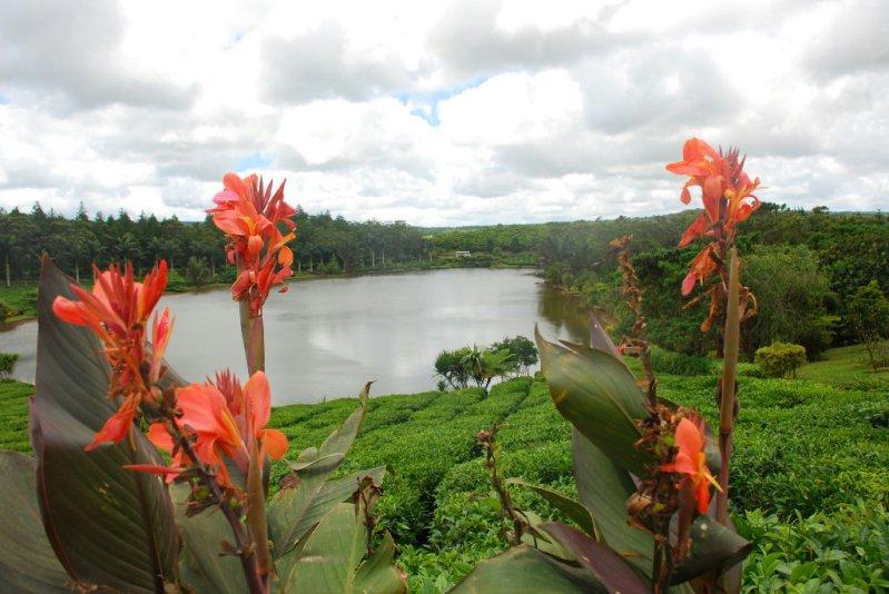 Чайные плантации на Маврикии. Саван. Фото