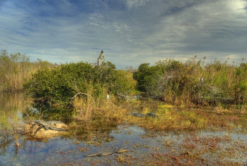 американские аллигаторы в национальном парке Эверглейдс (Флорида, США). Фото