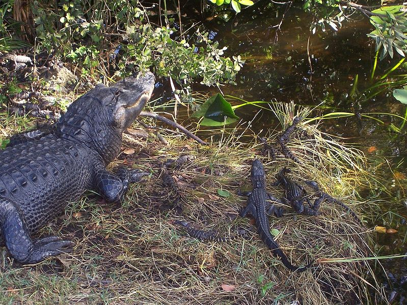 американские аллигаторы, Национальный парк Эверглейдс (Флорида, США). Фото