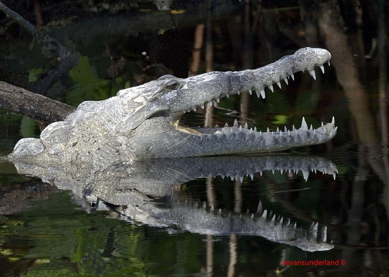 Острорылый крокодил, Национальный парк Эверглейдс (Флорида, США). Фото