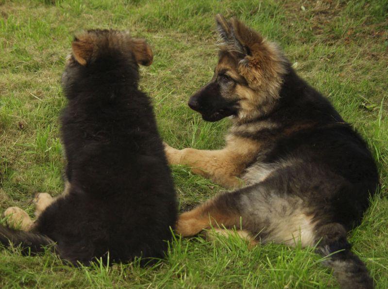 Два щенка немецкой овчарки лежат на траве. Фото