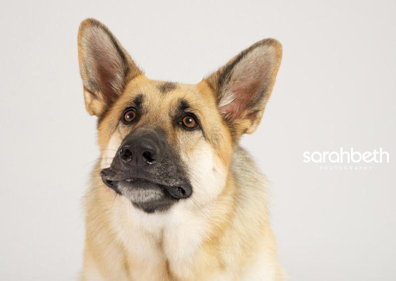 Удивленная собака породы немецкая овчарка. Профессиональное фото