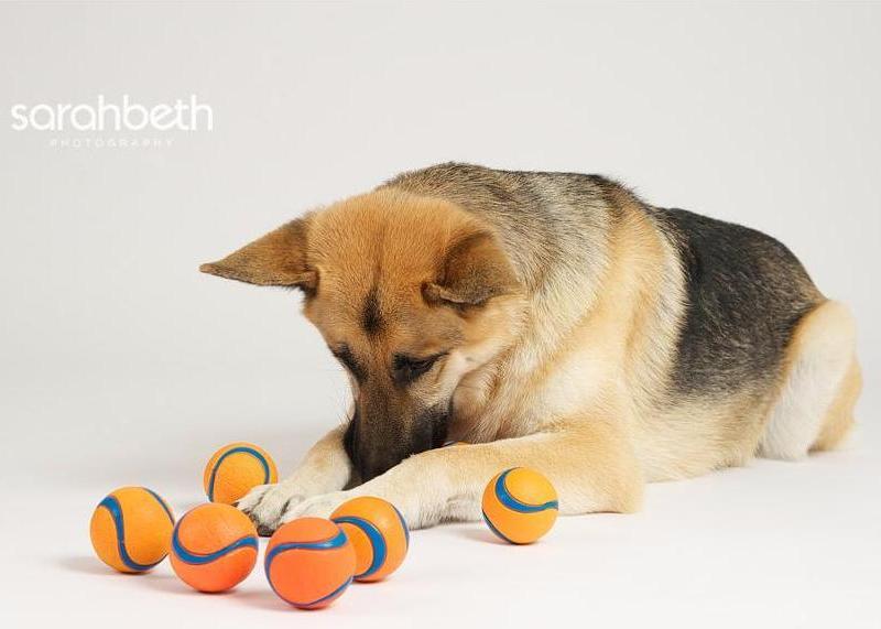 Собака породы немецкая овчарка с мячиками. Профессиональное фото