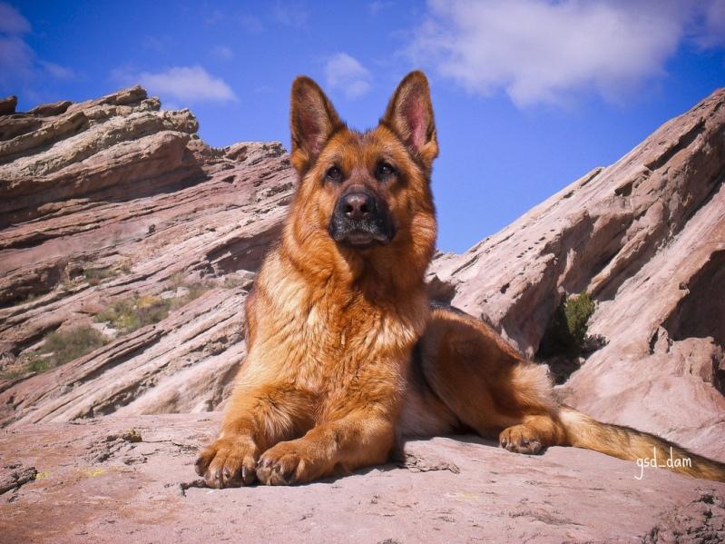 Немецкая овчарка в горах. Фото
