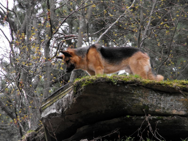 Немецкая овчарка в лесу. Фото