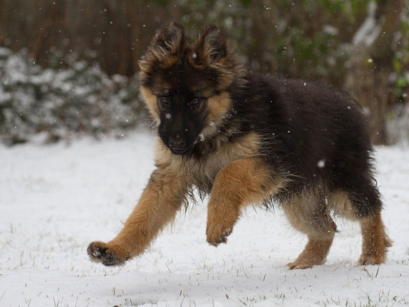 Бегущий по снегу щенок немецкой овчарки. Фото