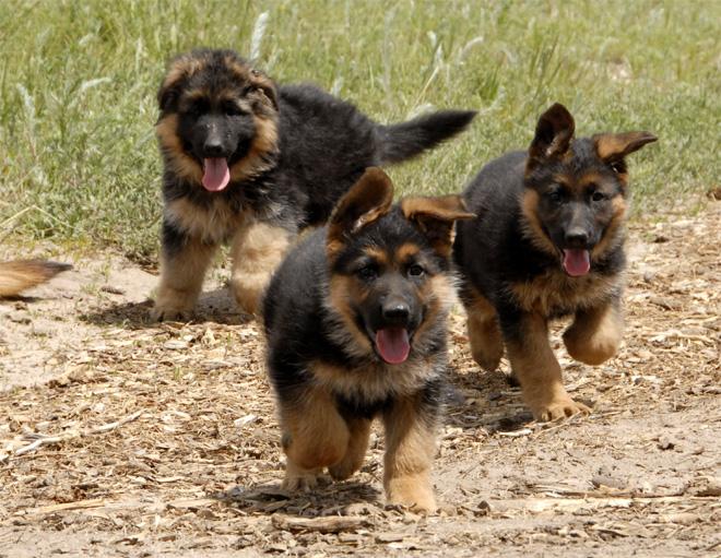 Бегущие щенки немецкой овчарки. Фото