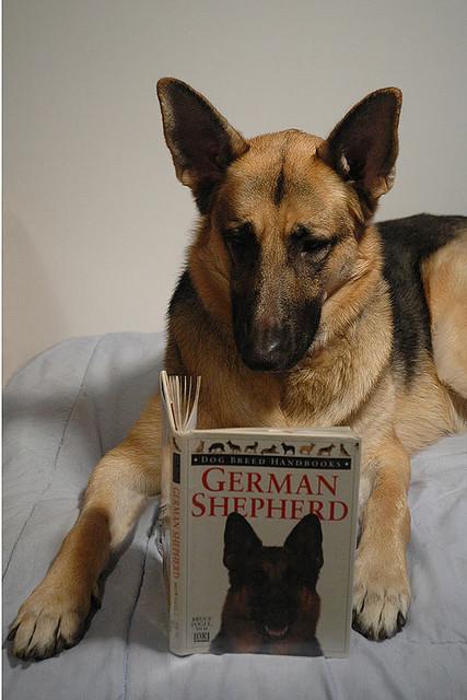 Немецкая овчарка читает книгу. Фото