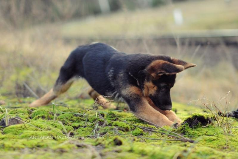 Щенок немецкой овчарки играет на природе. Фото
