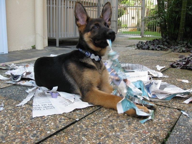 Подросший щенок немецкой овчарки проказничает. Фото