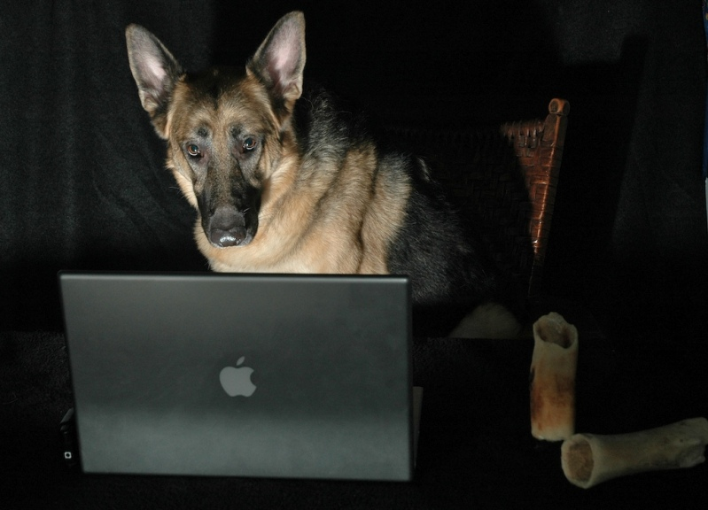 Немецкая овчарка сидит за ноутбуком. Фото