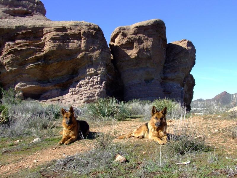 Две собаки породы немецкая овчарка в горах. Фото